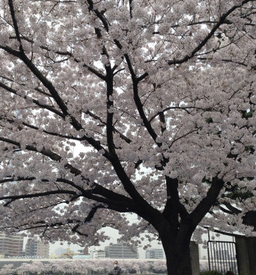 A tree with light pink white blooms in front of a river in Asakusa. it is a cloudy, overcast day.