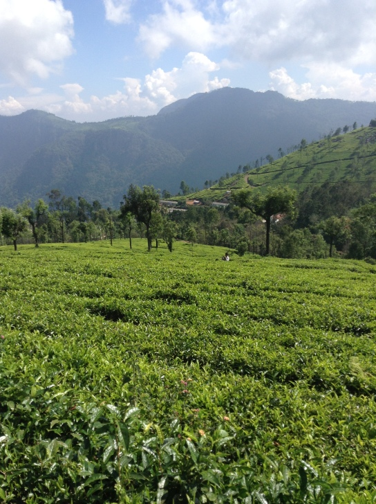 Green rows of tea leaves. Mountain in the background, covered with trees. Blue sky with fluffy white clouds. Heaven.