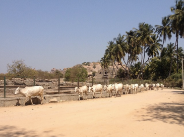 A herd of white cows with medium length horns walk during midday under the bright sun. There are palm trees in the back, boulders, and temple ruins.